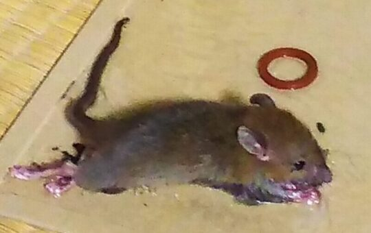 ネズミ捕獲用シート